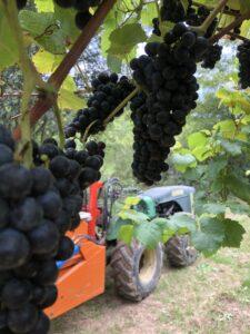 2020 Harvest at Gaintza Txakolina